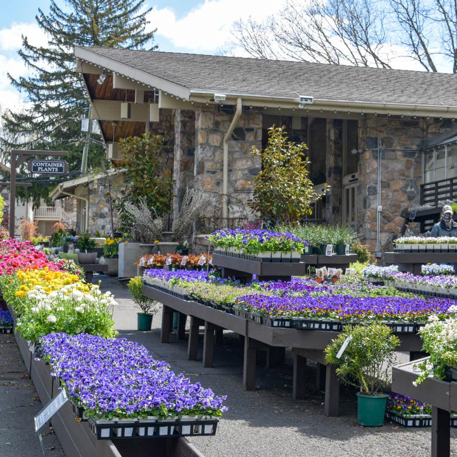 pansies in springtime outdoor garden center in greenwich
