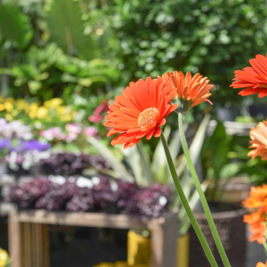 gerbera daisies in greenhouse in greenwich