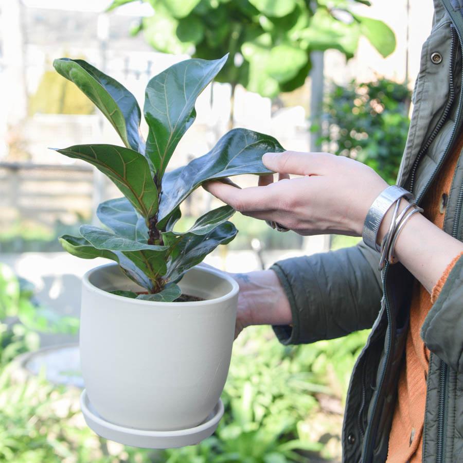 small fiddle leaf fig in ceramic in greenwich